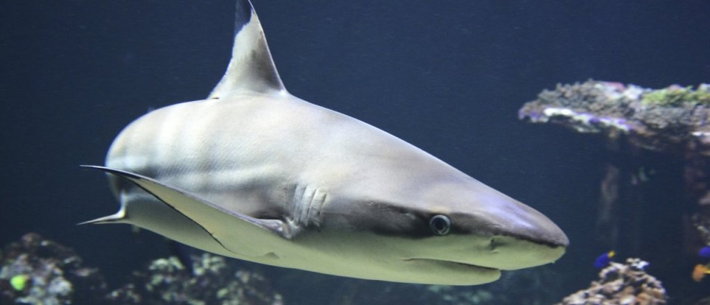 underwater-biology-fish-fauna-coral-reef-shark-1045654-pxhere.com